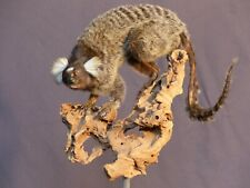 Weißbüscheläffchen Affe Monkey Präparat Taxidermy Tierpräparat  HKN Cites