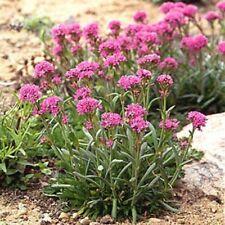 Lychnis- Alpina-   50 Seeds-