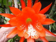 EPIPHYLLUM UN-NAMED  15cm-20cm cuttings , random all different FLOWERS  X12