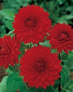 """Garden Wonder Decorative Dahlia Root"" Spectacular Flowers Bulb, CHECK STORE"