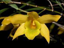 orchid / orchidee Dendrobium hancockii