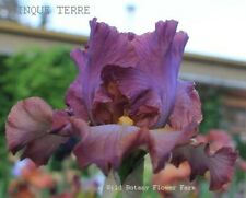 Tall Bearded Iris Cinque Terre Rhizome Henna Russet Perennial Award Bare Root