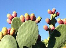 piante fichididia ficho d'india sicilia 70 pale frutti rossi gialli e bianchi