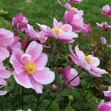 1 x Königin Charlotte Japanese AGM Anemone RHS Pink Late Flowering Autumn Colour