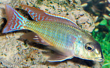Four Fish Colony, Lethrinops Marginatus (Red Fin) 1.5 in Fish African Cichlid