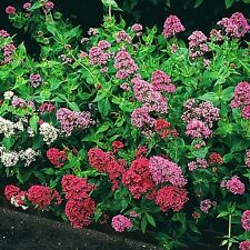 40+ Jupiter'S Beard Flower Seeds /Red,White/Purple / Perennial