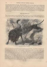 Jaguar attackiert Bison Bisonherde in der Prärie HOLZSTICH von 1866