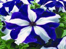 Petunia Ultra Blue Star 40 Pelleted Seeds  Garden Seeds 2u
