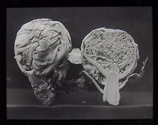 Glass Magic Lantern Slide BRUSSEL SPROUT & SECTION VIEW C1910 PHOTO VEGETABLE
