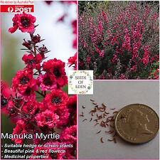50 MANUKA MYRTLE SEEDS(Leptospermum scoparium); Medicinal plant