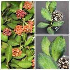 Hoya SP. ds-70/tsangii CLIVIA PIANTA rare (no Philodendron, no Syngonium)
