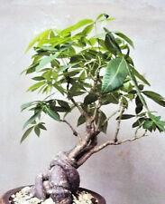 PACHIRA GLABRA aquatica Guiana Chestnut cauduciform caudex bonsai seed -5 seeds
