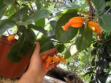 Very rare seeds *Juanulloa Mexicana*  4 fresh seeds* Gold Finger Plant***