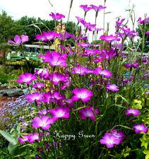 Agrostemma di Milas ROSE - 500 semi-Agrostemma githago-giardinaggio fiori