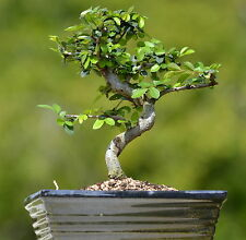 IMPORTED FUKIEN TEA  BONSAI TREE  FREE SHIPPING