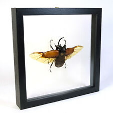 Real taxidermy insect mounted in double glass frame - Eupatorus gracilicornis