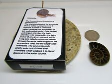 Real fossil ammonite in gift box & information card for dinosaur & nature fans