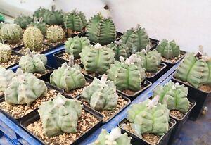 Astrophytum  myriostigma kikko nudum  seeds 20+.   Fresh seeds  2021.