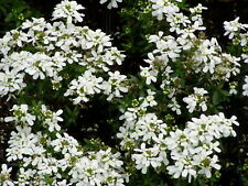 Iberis Perennial Candytuft Ground Cover 6 Plants in 3-1/2 inch Pots