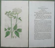 6 Antique Prints Sowerby 1st Edition Pentandria Parsley Parsnip Hand Colour 1794