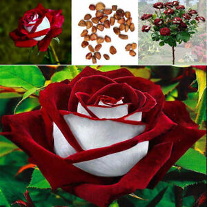 50Pcs Red & White Osiria Ruby Rose Flower Seeds Home Garden Decor Plant Beamy