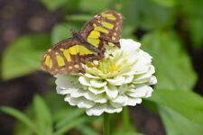 """Dahlia-flowered common zinnia """"Polar Bear"""" - 120 seeds"""