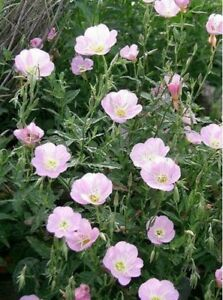 Evening Primrose - Pink- 200 Seeds- BOGO 50% off SALE