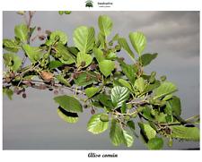 Alnus glutinosa - Aliso común - 150 semillas - Seeds