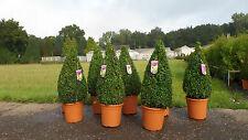 2 x Buchsbaum Kegel 100 cm Premium Pyramide Buchs Buxus Sempervirens