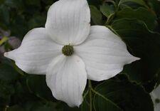 Cornus kousa China Girl  40-60, chinesischer Blumenhartriegel, weiß-gelbe Blüte