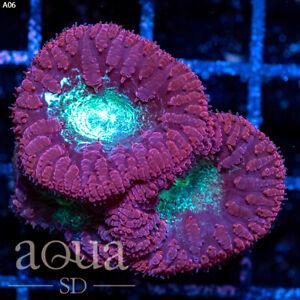 ASD - 005 Magic Jelly Blasto - Aqua SD Live Coral Frag