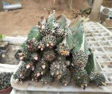 a cactus Succulent plants potted Home Garden Bonsai decoration Plants