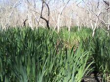 Japanese Water Iris Reeds