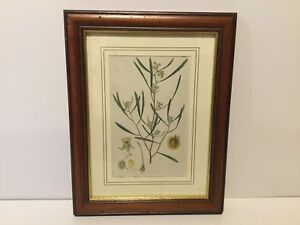 Botanical Etched Print Flowers Published S Curtis Walworth Pictures Antique