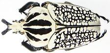 Insect - CETONIDAE Goliathus orientalis - Congo - Male 88mm ....!!