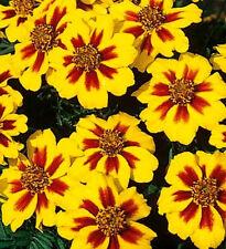 Dwarf Marigold Seeds, Dainty Marietta, French Marigolds, Heirloom Seeds, 75ct