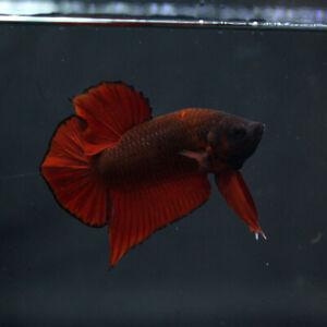 Live Betta Fish Male Super Red Devil HMPK PremiumThailand
