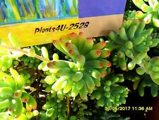 Succulent Sedum pachyphyllum Rose Jelly Bean Plant Young Offsets good size