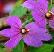 PINK BOWS Dalechampia aristolochiifolia purple flowers climbing plant 140mm pot