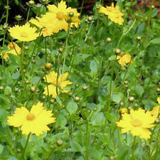 Coreopsis auriculata Nana 6 Plants in 3-1/2 inch Pots