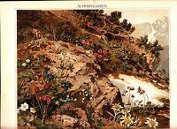 1894 ALPINE FLOWERS PLANTS Antique Chromolithograph PRINT