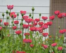 """Giant Poppy 250 Seeds Beautiful Large 5-6"""" Flowers for Your Garden"""