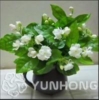 20 PCS Seeds Fragrant Jasmine Bonsai Fragrant Exotic Shrub Pollinate Flowers NEW