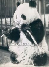 1946 Adorable Baby Giant Panda Bear Eats Bamboo Shoot London Zoo Press Photo