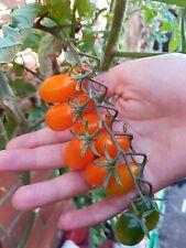 Ambrosia mini plum red tomato seeds x 20 very swee