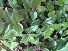 Tradeskantie terrario tres Master flor Tradescantia fluminensis esquejes 6x