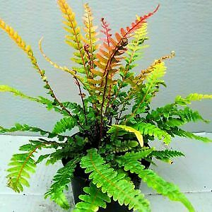 Doodia media - A small atractive,neat and compact hardy evergreen fern, 1L pot.