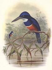 FOUR COLORED BELTED COLLARED BLUE AZURE  KINGFISHER ~ John Gould BIRD Art Print