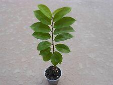 Soursop (Annona muricata L.) plant