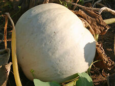 VEGETABLE  PUMPKIN WHITE  CASPER  10 SEEDS